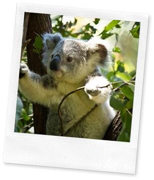 koala-74908_640